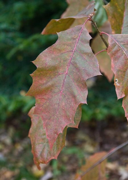 leaforiginal